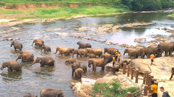 Elephants from the elephant sanctuary cooling off and playing in the river