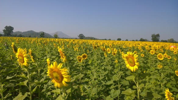 The vast sunflower fields